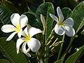 Starr 070124-3845 Plumeria obtusa.jpg