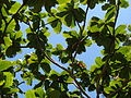 Starr 070306-5154 Terminalia catappa.jpg