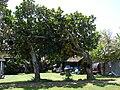 Starr 070403-6452 Artocarpus heterophyllus.jpg