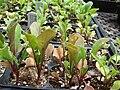Starr 070906-8899 Eruca vesicaria subsp. sativa.jpg