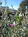 Starr 071224-0467 Leucophyllum frutescens.jpg