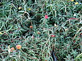 Starr 080103-1138 Portulaca grandiflora.jpg