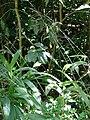 Starr 080304-3185 Setaria palmifolia.jpg