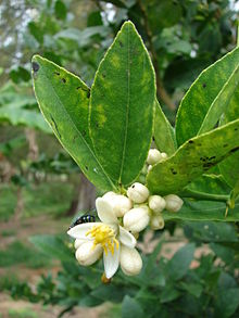 220px-Starr_080610-8318_Citrus_aurantiifolia.jpg