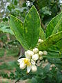 Starr 080610-8318 Citrus aurantiifolia.jpg