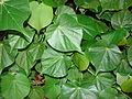 Starr 081230-0747 Hibiscus tiliaceus.jpg