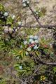 Steinau an der Strasse Steinau Weinberg SCI 555520970 Prunus spinosa.png