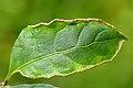 Stenacis convolvens on Euvonymus europaeus (31803213861).jpg