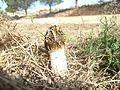 Stinkhorn . Phallus impudicus - Flickr - gailhampshire.jpg