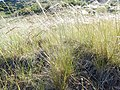 Stipa nelsonii and Stipa richardsonii (27388927134).jpg