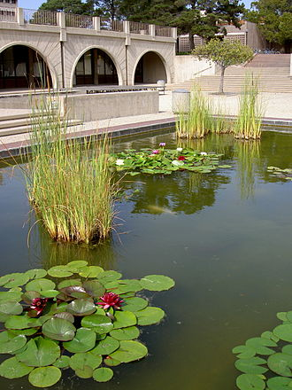 Storke Tower - Storke Plaza pond, with koi and water lilies in a partially self-sustaining aquatic ecosystem