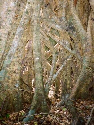 Tooloom National Park - Image: Strangler Tooloom National Park