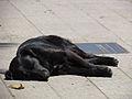 Stray dog (11164519386).jpg