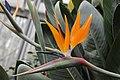 Strelitzia - Strelitzia reginae (40092240495).jpg
