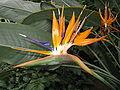 Strelitzia reginae7.jpg
