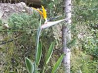 Strelitzia reginae from Kedumim 119.jpg
