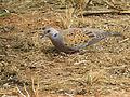 Streptopelia turtur, Hayarkon Park, Tel Aviv PikiWiki Israel 37157.jpg