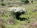 Stunted & Sheep Grazed Hawthorn (16892482745).jpg