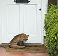 Suburban Fox, Pyrford - geograph.org.uk - 1099401.jpg