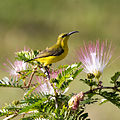 Sunbird female on pom pom tree 3 (22761635899).jpg