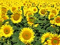 Sunflowers-Слънчогледи - panoramio.jpg