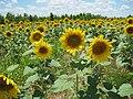Sunflowers Crittenden County AR 2013-06-29 008.jpg
