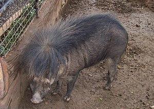 Philippine warty pig - Image: Sus philippinesis