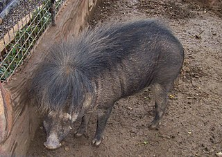 Philippine warty pig species of mammal