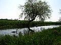 Swans at Foston Beck.jpg
