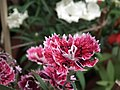 Sweet William from Lalbagh flower show Aug 2013 8212.JPG