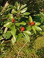 Sweetbay Magnolia Magnolia virginiana Branch 2000px.jpg