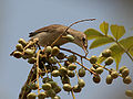 Sykes's Warbler (Hippolais rama) feeding on Lannea coromandelica fruits W IMG 7804.jpg