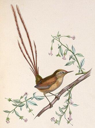 Marc Athanase Parfait Œillet des Murs - Des Murs's illustration of Des Murs's wiretail, a species named after him.