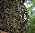 Syrian woodpecker (36487115441).jpg