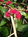 Syzygium malaccense BotGardBln07122011E.JPG