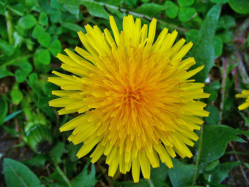 Common Dandelion Tarax...