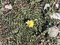 Taraxacum sp - Hindiba, Kartal Dağı 01.jpg