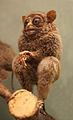 Tarsius fuscus.jpg