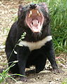 Tasmanian Devil demanding lunch.jpg