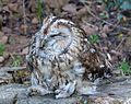 Tawny Owl - Flickr - gailhampshire (1).jpg