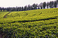 Tea Fields, Ethiopia (13306763123).jpg