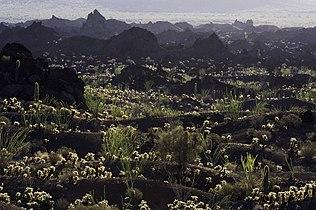 Tecolote Camp Pinacate Cholla.jpg