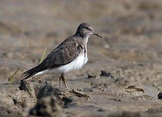 Temminck's stint - Image: Temminck's Stint (Non breeding plumage) I IMG 1445