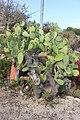 Tenerife giant desert cactus.jpg