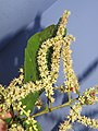 Terminalia elliptica - Indian Laurel flowers at Nedumpoil (43).jpg