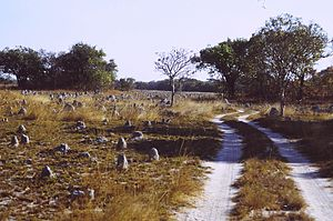 Termite mounds in Kasanka National Park, Zambi...