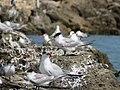 Terns at Woodman Spit, April 2021 01.jpg