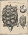 Testudo stellata - 1700-1880 - Print - Iconographia Zoologica - Special Collections University of Amsterdam - UBA01 IZ11600051.tif