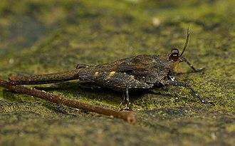 Caelifera - A groundhopper