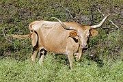 Texas Longhorn cow